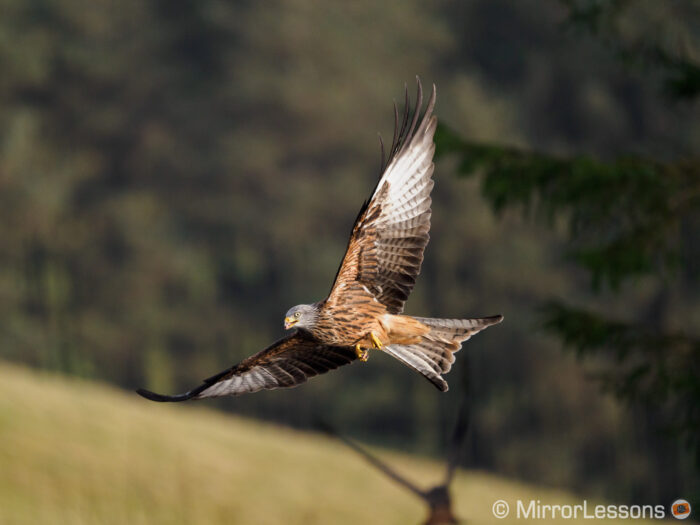 red kite flying near a tree