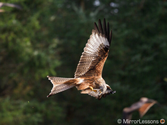 red kite flying and eating