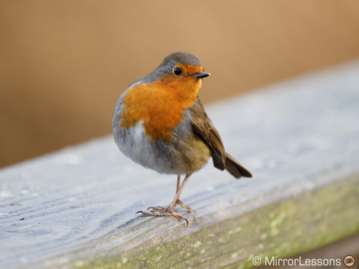robin looking back, standing on a wooden handrail