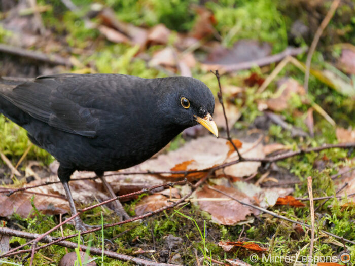 close-up on a blackbird on the ground with brown leaves and grass