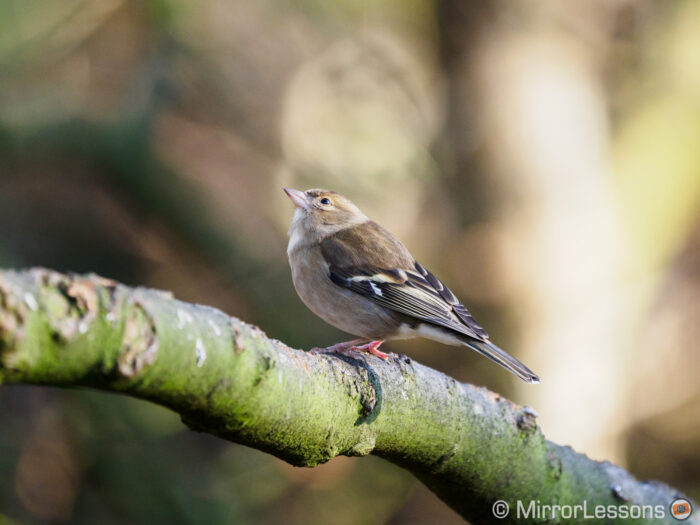 female chaffinch perched on a tree