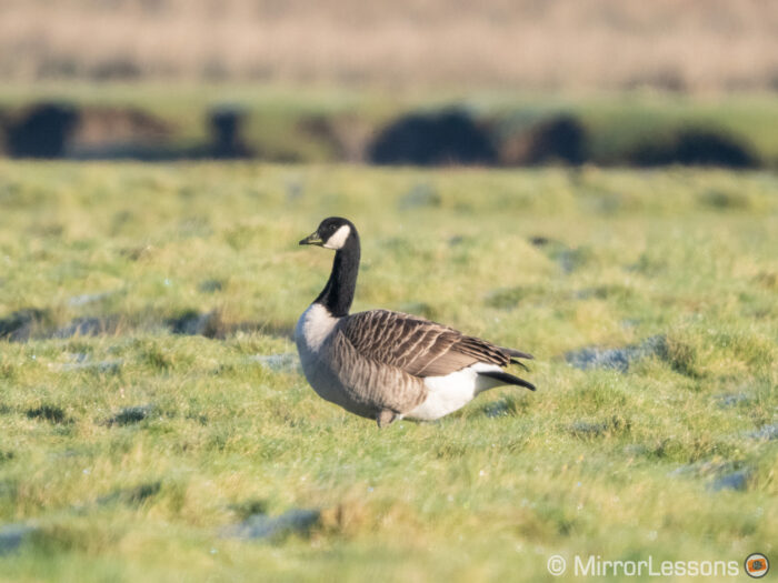 another white fronted goose on a green field in the distance