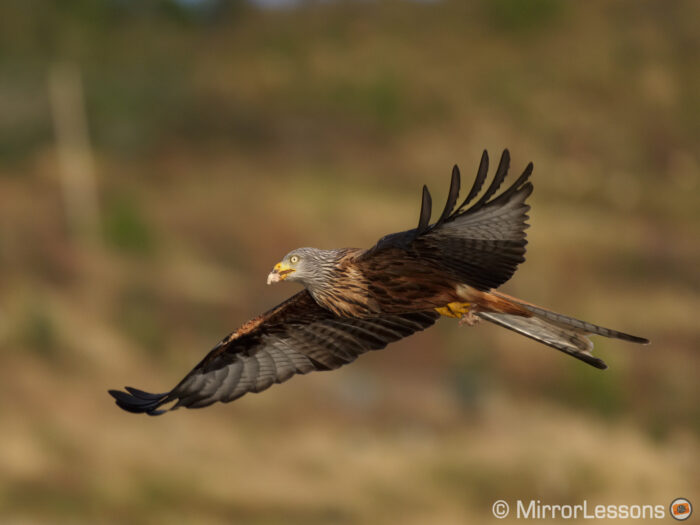 red kite flying with meat in its beak