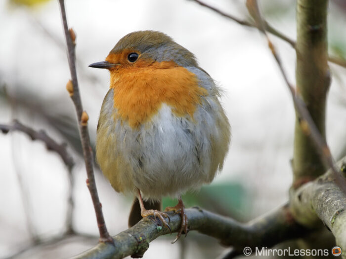 robin perched on a branch, looking towards left
