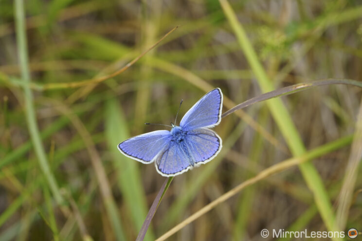 blue butterfly on the grass