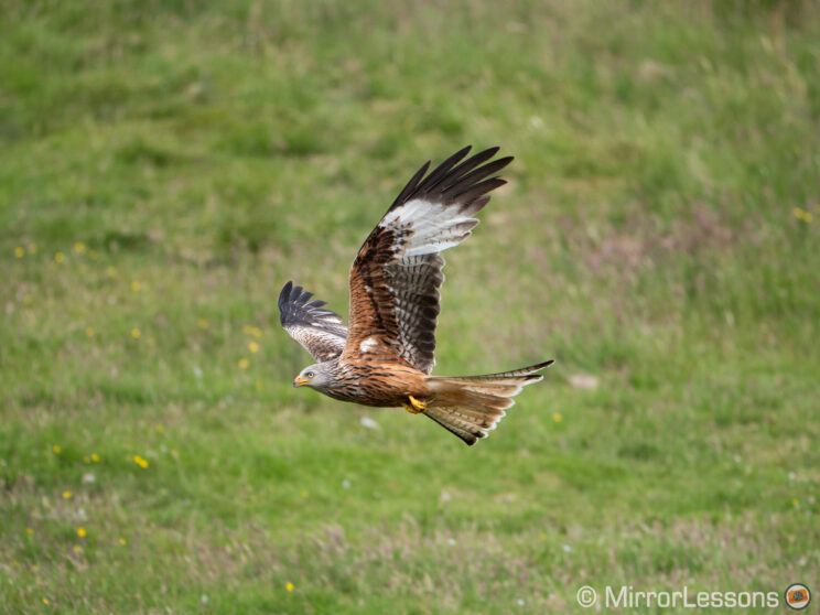 red kite flying with grass in the background