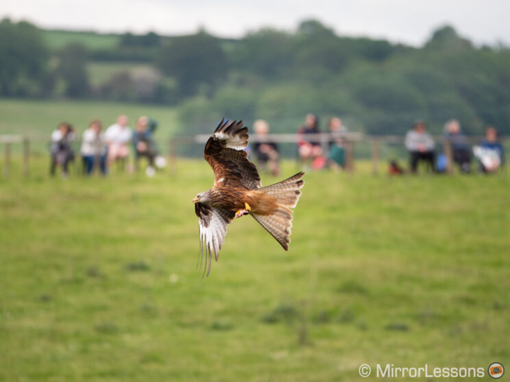 red kite flying with people from the visitor centre in the background, out of focus