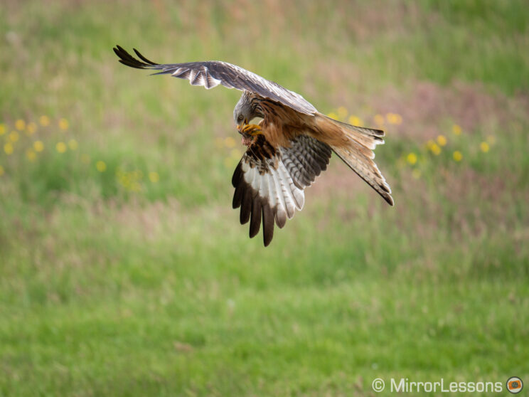 red kite flying and eating, with grass in the background