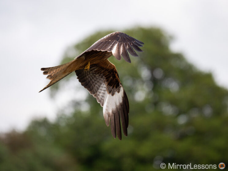 red kite flying with out of focus trees in the background, the kite has a strange position and the head is hidden by the wing