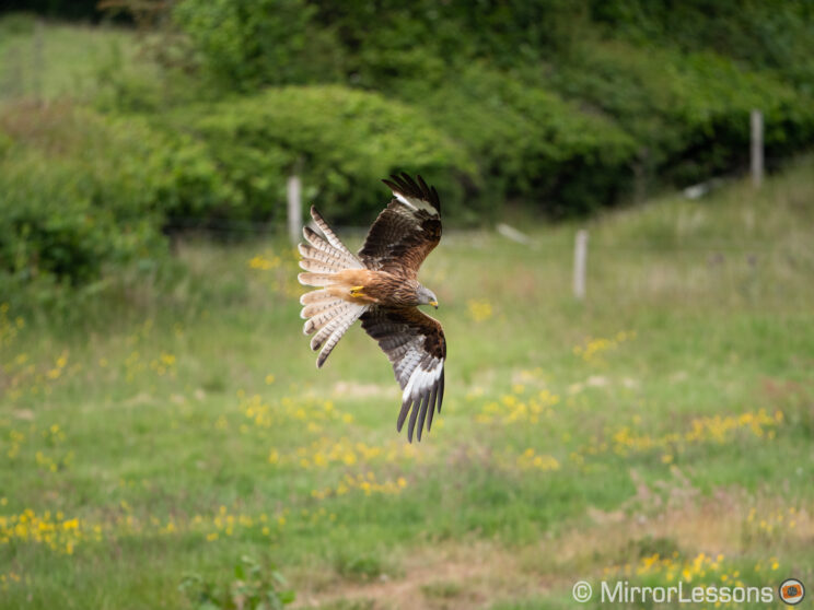 red kite flying low to the ground, with grass and bushes in the background