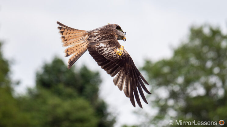 red kite flying with out of focus trees in the background
