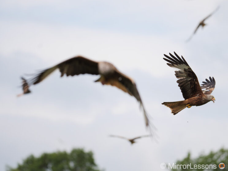two red kites flying, first kite is out of focus, second red kite behind on the right is in focus
