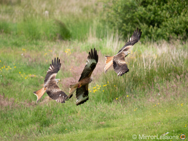 three red kites close to each others, flying just above the ground with grass and bushes in the background