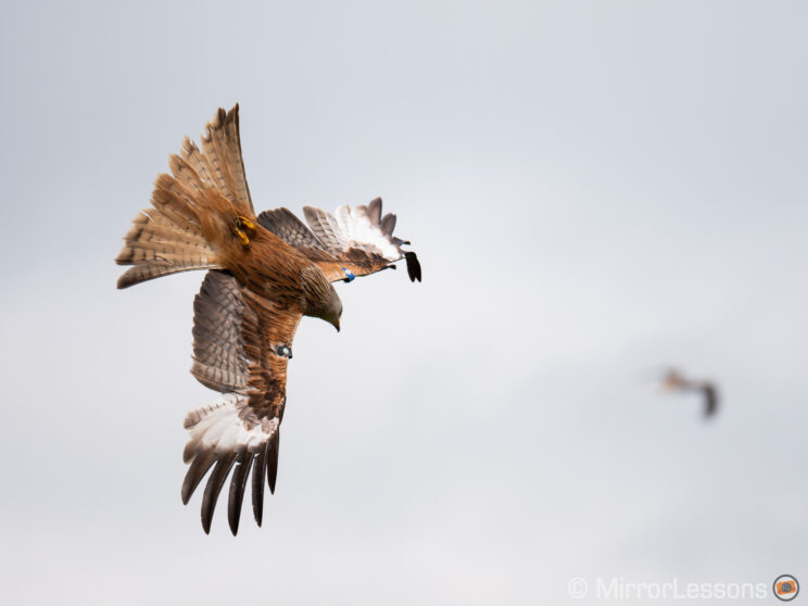 red kite in the sky about to dive down