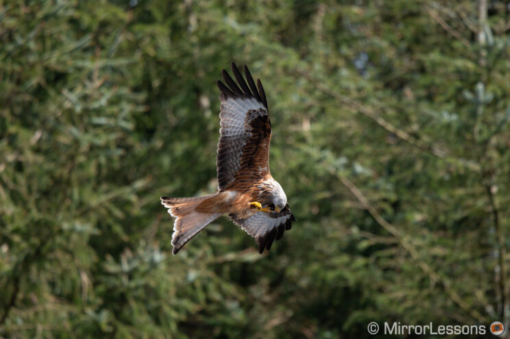 red kite flying and eating against trees