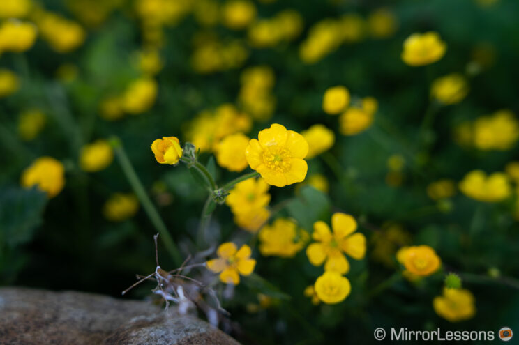 small yellow flower in a field
