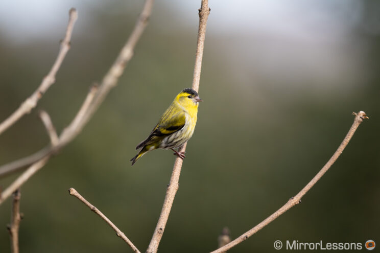 small yellow bird perched on a brench