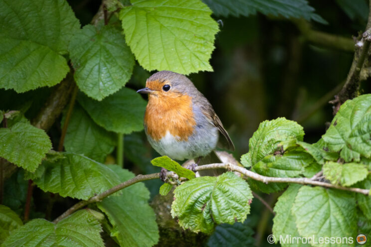 robin perched on a branch with green leaves around