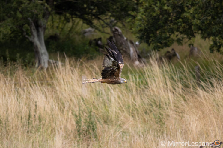 red kite flying in the distant in front of a busy background with tall grass and trees