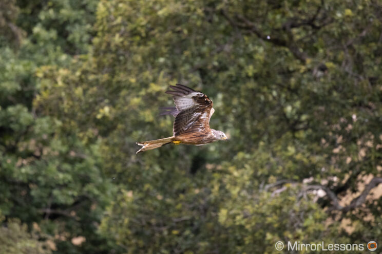 red kite flying close to trees