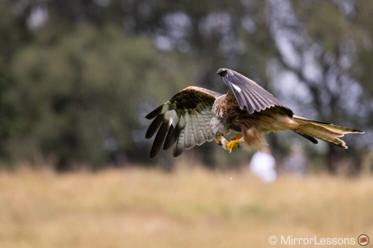 red kite flying and eating a piece of meat with out of focus trees in the background