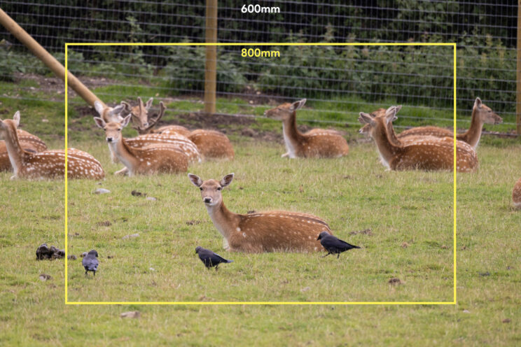 deer resting on the grass, with bright yellow frame to show the field of view of the 800mm lens