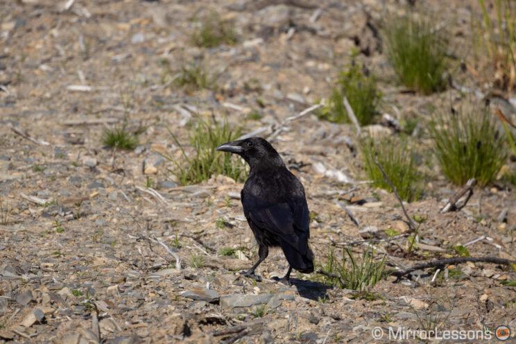 raven on the ground
