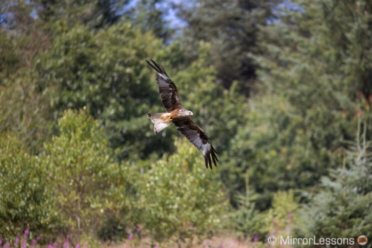 red kite flying with various trees in the background