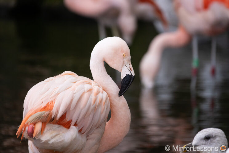 Chilean flamingo with other flamingos out of focus in the background