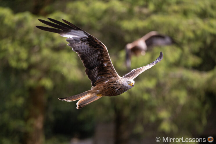 red kite flying with out of focus trees and another kite in the background