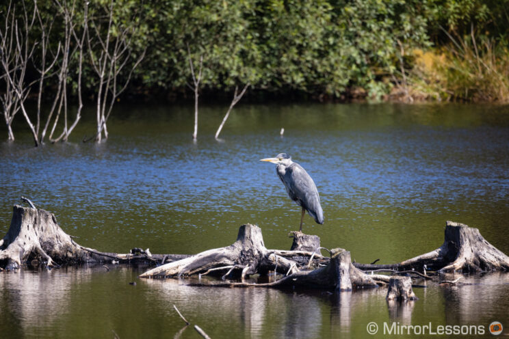 Grey Heron standing on dead trees in the water