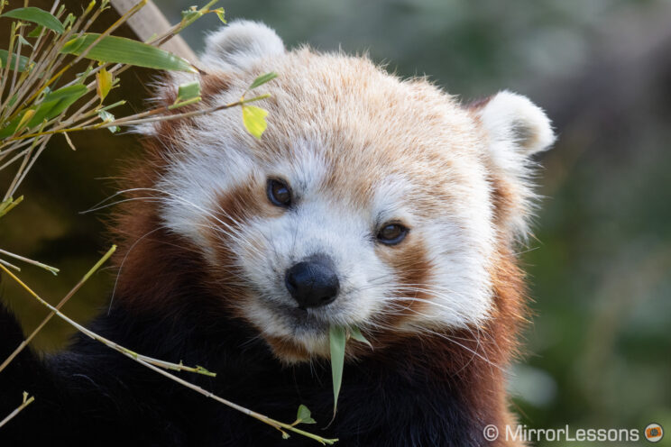 close-up of a red panda eating green leaves