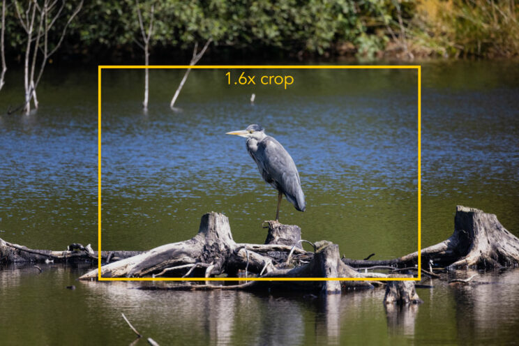 grey heron standing on a log by the water, with yellow frame added in post to show the 1.6x crop