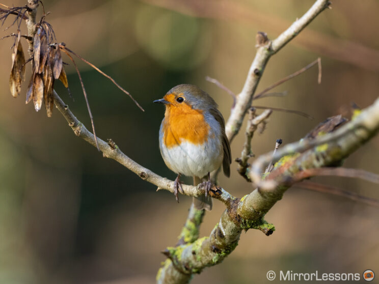 robin perched on a tree
