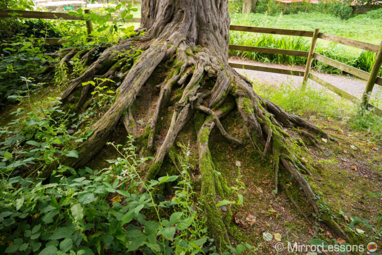 large roots of an old tree